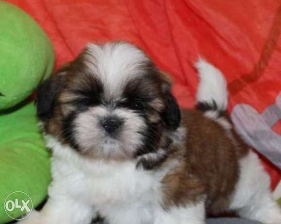 Reserve ur top quality shihtzu puppy, imported with all dcs