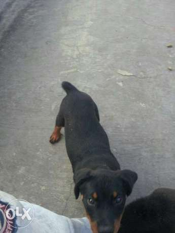 rottweilers 4 Month Diani Beach - image 3