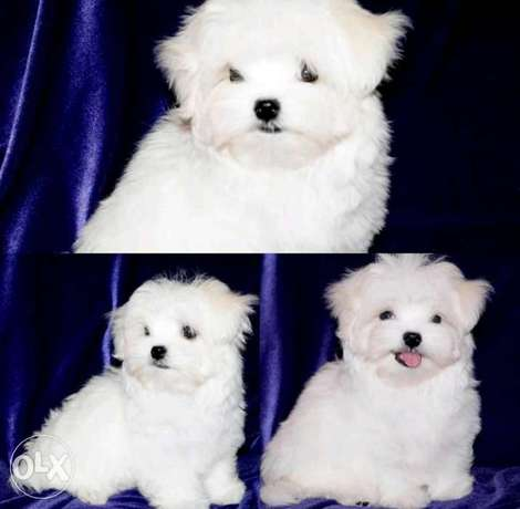 Best imported mini maltese puppies with all documents