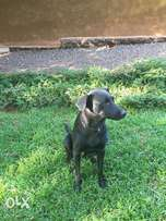 Labradors for sale