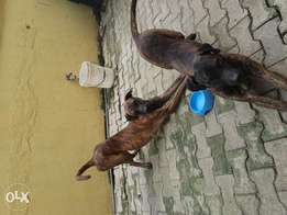 Two male Boerbel dog for sale (10 months old)