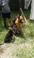 GSD puppies in Eldoret
