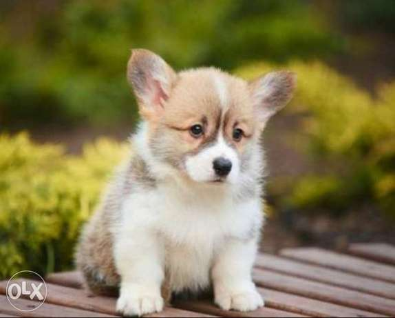 Imported top quality corgi puppies with all documents