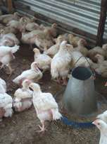 Sell Broiler chicken Good price 350.