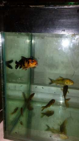 Ornamental fish Nairobi CBD - image 2