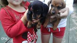 Miniature Duchshund (worsies) For Sale R500 each