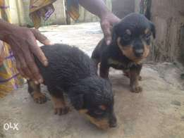 6 weeks old male rott for sale