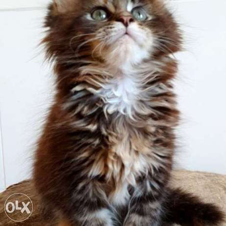 Maine Coon an unreal warm color, a marble turtle, was born