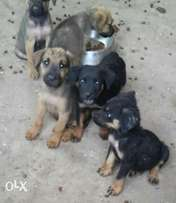 Boerboel and rottweiler puppies