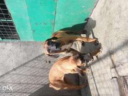 5 mnth oldPure South Africa Boerboel puppies for sale
