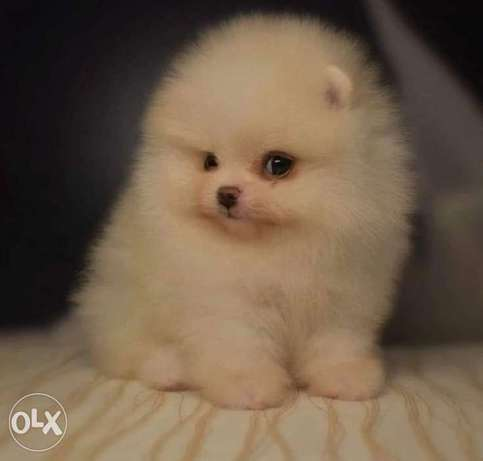 All sizes and colors of Pomeranian are available