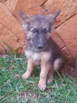 Female and male German sherperd puppies