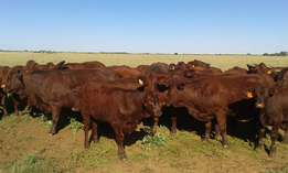 Bonsmara Cattle & Heifers for sale