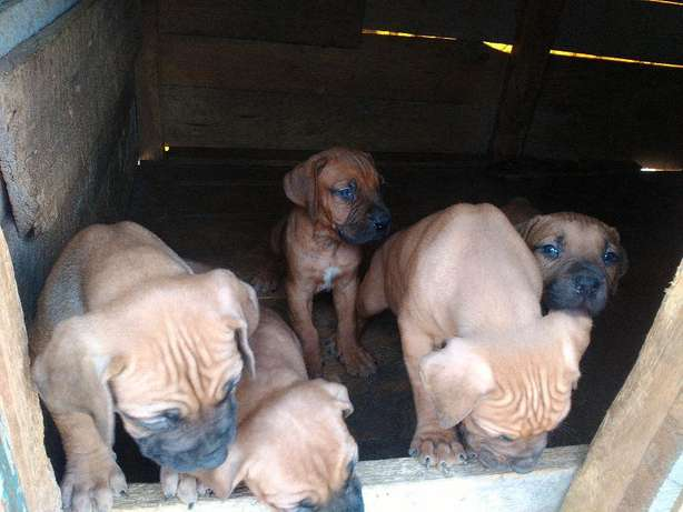 BOERBOEL Puppies 2mnths Old Naivasha - image 2