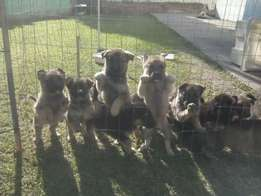 alsation/ german shepard pups 6 weeks old