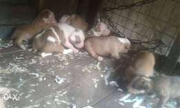 Pit bull Puppies available