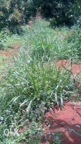 High protein Bracharia grass seedlings a.k.a. splits for sale Gakinduini - image 2