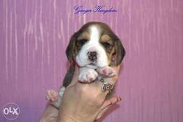Amazing Quality. European Beagle puppies