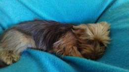 Yorkshire terrier reun