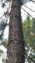 70,000Pine trees 21years old,on a 62hectres land on quick sale