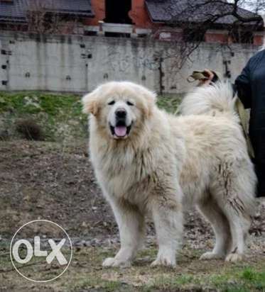 Caucasian Shepherd Puppies Available Now(3 Full White & 1 Grey)