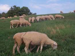 rams and ewes for sale