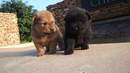 Chow pups for sale