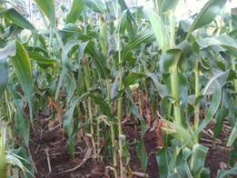 Maize for cow feeds (silage)