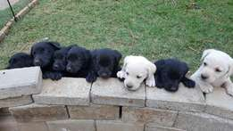 Labrador puppies for sale only 3 left