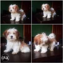 cute Lhasa puppies for sale