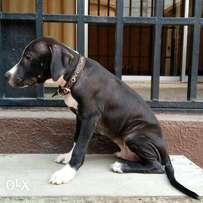 Black/White MALE American Pit Bull Terrier Puppy