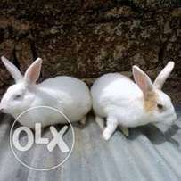 Rabbits for sale both wearnes and matured Ones.