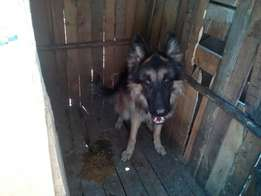 German Shepard dogs for sale