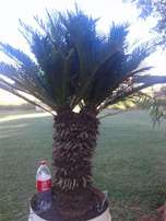 Cycad Reveluta 1m High Twin head. x 2 off