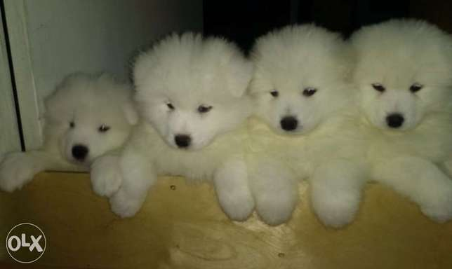 Samoyed Puppies( Smily Face)
