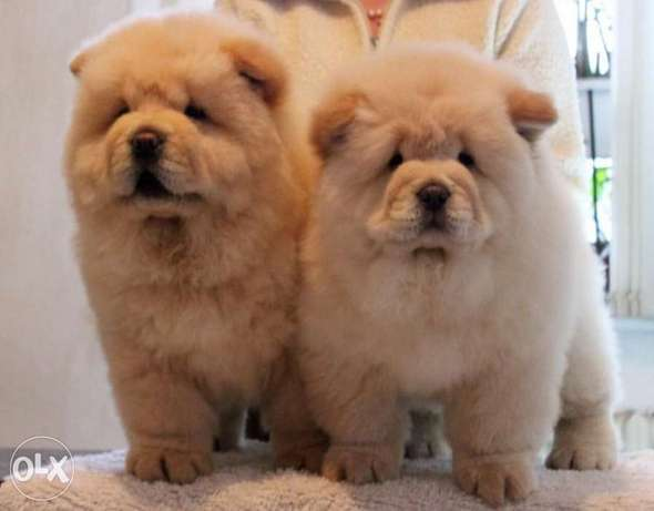Imported off white chowchow with Pedigree