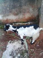 Female goat on sale