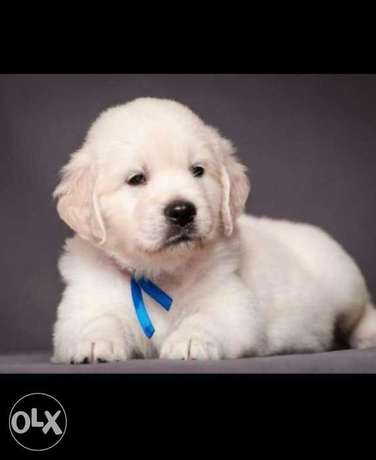 Reserve ur imported top quality white golden retriever puppy with Pedi