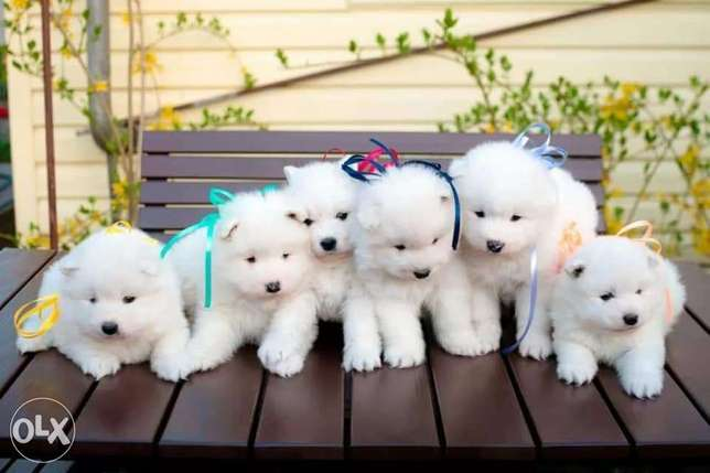 Imported samoyed puppies for sale, highest quality and best price
