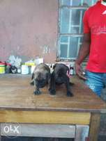 Quality beorbeols puppy for sale