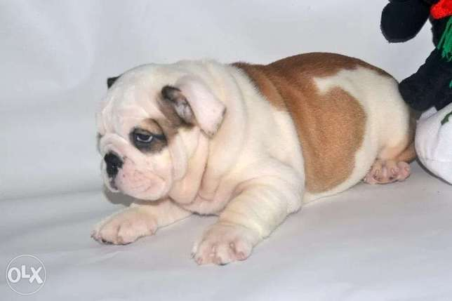 Best imported English Bulldog puppies