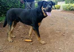 young rottweiler/ shepherd male looking for a new and loving home