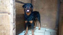 Adult male Rottweiler