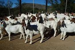 Healthy Pure Breed Goats for quick sale at a discounted Price