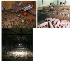 Gas brooder for Chicks and Piglets