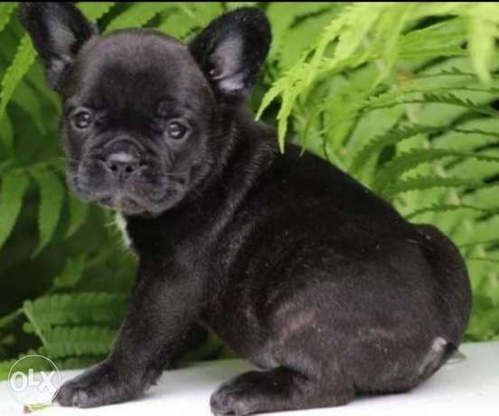 Reserve ur imported premium quality French Bulldog puppy with Pedigree
