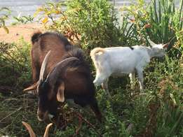 Young male Dairy Goats