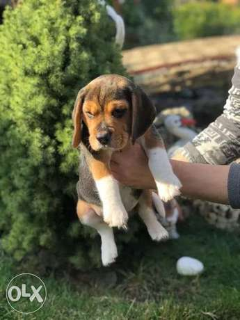 Superb Beagle Puppies