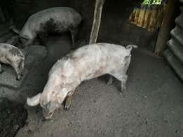 4 pigs for sale