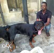 Fantastic & productive Male Rot Wailer for Stud Services